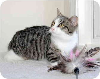 Domestic Shorthair Cat for adoption in Carlisle, Pennsylvania - Lucy Lou