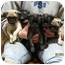 Photo 3 - Pug Puppy for adoption in Brodheadsville, Pennsylvania - Pug Litter