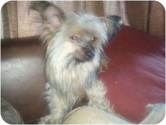 Yorkie, Yorkshire Terrier Dog for adoption in Pembroke pInes, Florida - leo