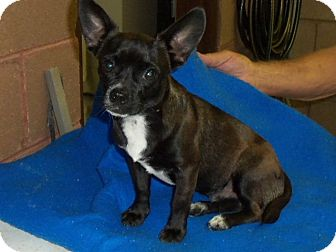 Chihuahua/Boston Terrier Mix Puppy for adoption in Baltimore, Maryland - Tugg