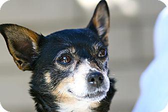 Chihuahua Mix Dog for adoption in Coronado, California - Buttercup