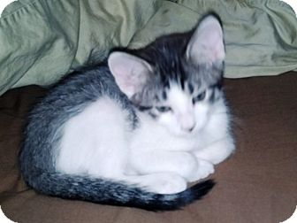Domestic Shorthair Kitten for adoption in Las Vegas, Nevada - Deavan