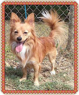 Pomeranian Mix Dog for adoption in Marietta, Georgia - SHERLOCK