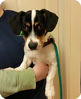 Beagle/Dachshund Mix Dog for adoption in Franklin, Indiana - Lexy