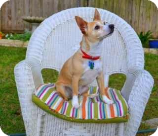 Jack Russell Terrier Mix Dog for adoption in San Antonio, Texas - Trigger in Round Rock