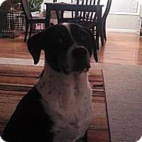 Adopt A Pet :: Koa - Loveland, CO