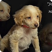 Adopt A Pet :: JOEY - Spring Valley, NY