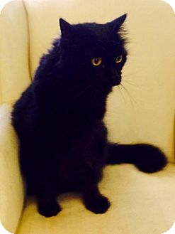 Domestic Longhair Cat for adoption in Tyner, North Carolina - Al aka Big Al