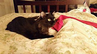 Domestic Longhair Cat for adoption in Ocala, Florida - Stevie B