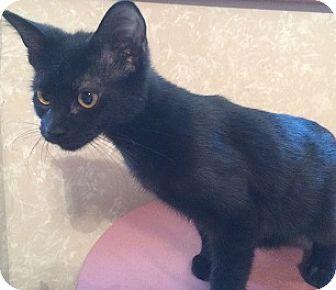 Domestic Shorthair Kitten for adoption in Hillside, Illinois - Nina-16 WEEKS