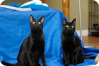 Domestic Shorthair Cat for adoption in Duncan, British Columbia - Stella (female) & Anton (male)