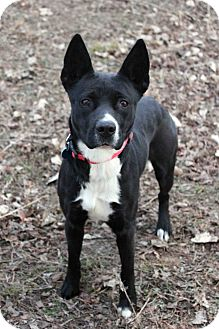 Border Collie/American Staffordshire Terrier Mix Dog for adoption in Westminster, Colorado - Brandi