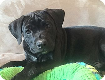 Boxer/Mastiff Mix Puppy for adoption in Atlanta, Georgia - Shaggy
