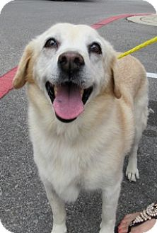 American Eskimo Dog/Labrador Retriever Mix Dog for adoption in Von Ormy, Texas - Lucy