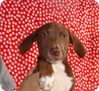Labrador Retriever/Australian Shepherd Mix Puppy for adoption in Oviedo, Florida - Jelly
