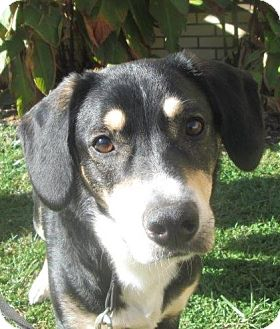 Entlebucher/Shepherd (Unknown Type) Mix Dog for adoption in LaGrange, Kentucky - Blake