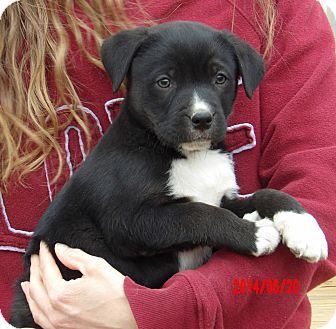 Labrador Retriever/Border Collie Mix Puppy for adoption in Williamsport, Maryland - Dallas (8 lb) Video!
