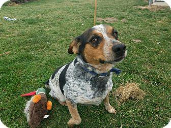 Blue Heeler/Beagle Mix Dog for adoption in Moberly, Missouri - Rosco