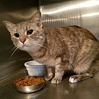 Domestic Shorthair Cat for adoption in Geneseo, Illinois - Harriet