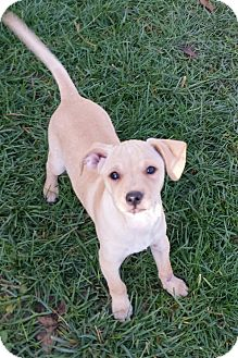 Chihuahua Mix Puppy for adoption in temecula, California - Ringo
