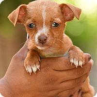Adopt A Pet :: Dottie - Los Angeles, CA