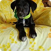 Adopt A Pet :: Scarlett (see video) - Burlington, VT