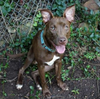 American Pit Bull Terrier Mix Dog for adoption in Oklahoma City, Oklahoma - Edith [MD]