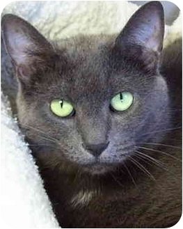 Domestic Shorthair Cat for adoption in Bloomingdale, New Jersey - Gray C