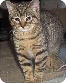 Domestic Shorthair Kitten for adoption in Chapman Mills, Ottawa, Ontario - BILLY