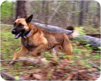 German Shepherd Dog/Labrador Retriever Mix Dog for adoption in Conyers, Georgia - Titus
