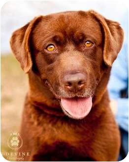 Labrador Retriever Dog for adoption in Seattle, Washington - Ginger
