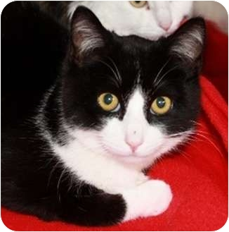 Domestic Shorthair Cat for adoption in North Highlands, California - Jamie