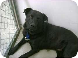 Labrador Retriever/Rottweiler Mix Dog for adoption in Creston, British Columbia - Hudson