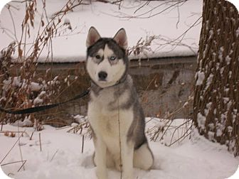 Husky Dog for adoption in Belleville, Michigan - Hagen