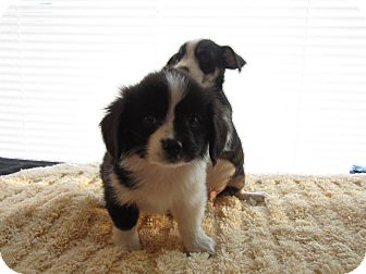 Shih Tzu/Chihuahua Mix Puppy for adoption in Lexington, Kentucky - Shih Tzu Mix Puppies