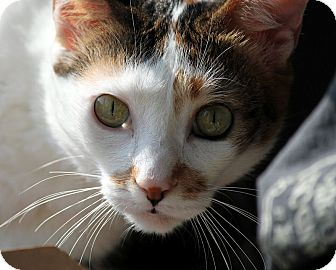 Domestic Mediumhair Cat for adoption in Alexandria, Virginia - Zoya