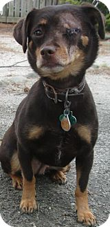 Chihuahua Mix Dog for adoption in Forked River, New Jersey - Sally