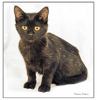 Domestic Shorthair Cat for adoption in Newland, North Carolina - Phoebe