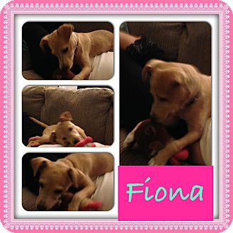 Fox Terrier (Toy)/Dachshund Mix Puppy for adoption in CHICAGO, Illinois - FIONA