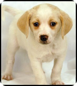 Beagle/Jack Russell Terrier Mix Puppy for adoption in Newland, North Carolina - Chiffon