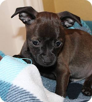 Chihuahua/Pug Mix Puppy for adoption in La Habra Heights, California - Cash
