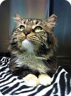Maine Coon Cat for adoption in Warwick, Rhode Island - Gustaf