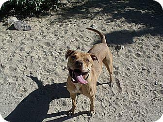 Labrador Retriever/Rhodesian Ridgeback Mix Dog for adoption in Lucerne Valley, California - River