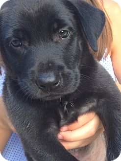 Labrador Retriever Mix Puppy for adoption in Greenfield, Wisconsin - Blake