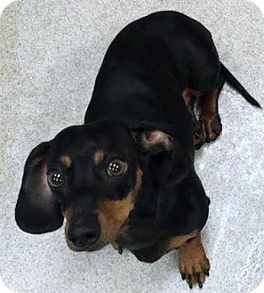 Dachshund Mix Dog for adoption in Columbus, Georgia - Max 6356