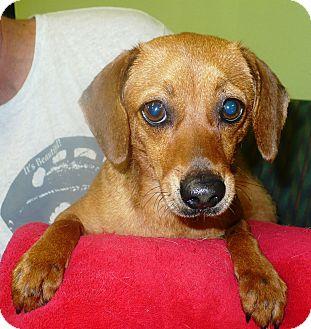 Dachshund Mix Dog for adoption in Eastpoint, Florida - Daphne