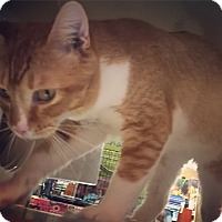 Adopt A Pet :: Johanna - Raleigh, NC
