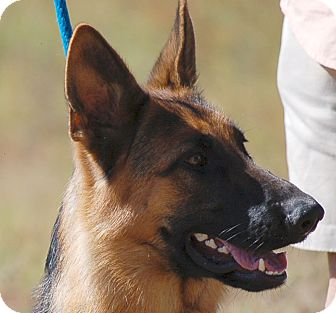 German Shepherd Dog Dog for adoption in Preston, Connecticut - Katy
