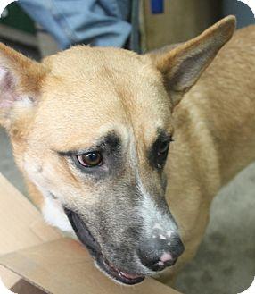 Shepherd (Unknown Type)/Corgi Mix Dog for adoption in London, Ontario - Timmy