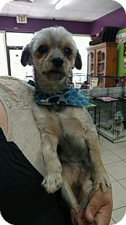Yorkie, Yorkshire Terrier/Shih Tzu Mix Dog for adoption in Lakeland, Florida - Dexter